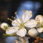 kwiat-tarniny